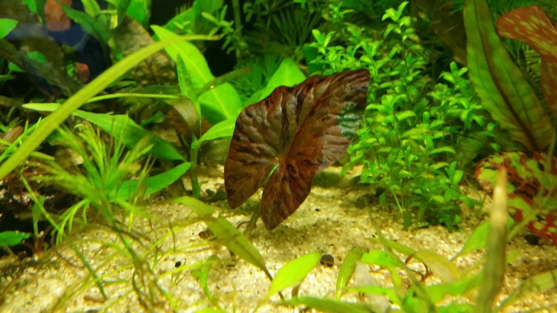 Wip Nymphaea Zenkeri Red Red Tiger Lotus Green N Geek
